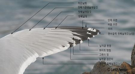 갈매기 첫째날개 부위별 명칭과 설명