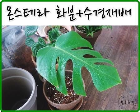 키우기쉬운식물 - 몬스테라 화분, 수경재배