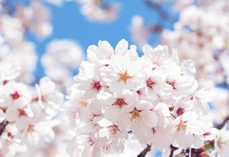 벚꽃놀이 가자! 2019 벚꽃 개화시기 및 전국 벚꽃축제