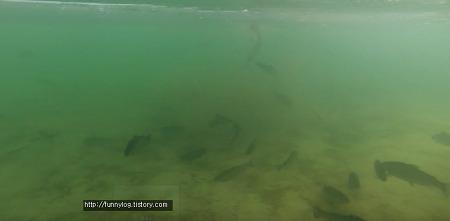 송어축제 얼음낚시 잘잡는 방법 (방류빨 받는 방법)