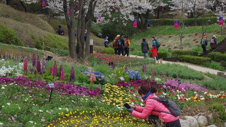 안산벚꽃 (2018봄) 서울 서대문구 연희동 안산기슭 연희숲속쉼터 (서대문구청 인근)