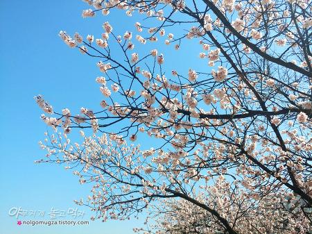여의도 벚꽃축제 윤중로 개화 현황. 꽃보다 사람이 더 많다!