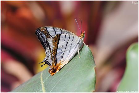 돌담무늬나비 (가평 자라섬 이화원)