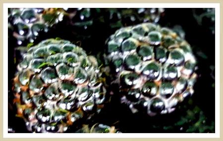 고창복분자주 해풍을 맞고 자란 해풍복분자!