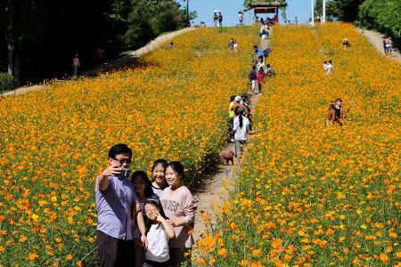 [서울풍경] 올림픽공원 들꽃마루 황화코스모스