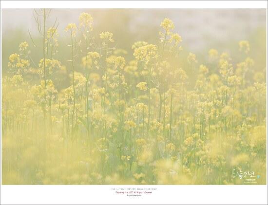 유채꽃이 활짝 핀 부천 상동호수공원