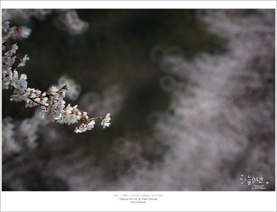 이번주에 가면 정말 좋은 곳 .인천대공원 벚꽃