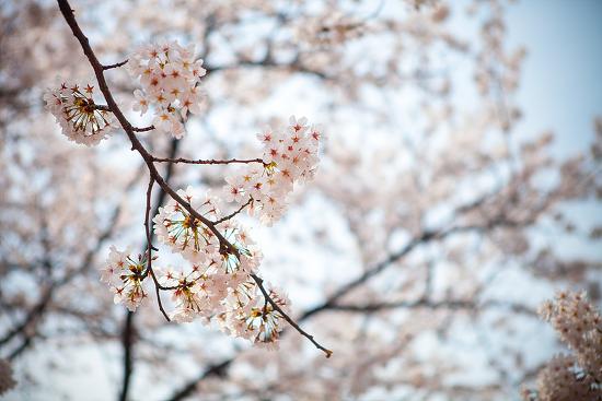 [서울 벚꽃축제] 여의도 벚꽃축제