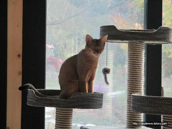아비시니안 고양이와 장터출신 고양이의 낮잠