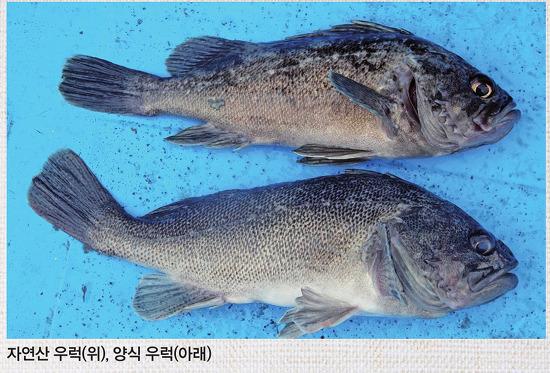 흔하지만, 가장 빼어난 맛 조피볼락(우럭)(김지민의 新자산어보)