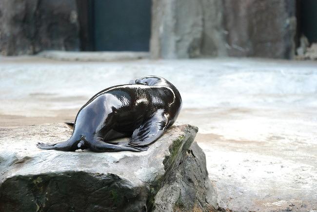 서울대공원 캘리포니아 바다사자