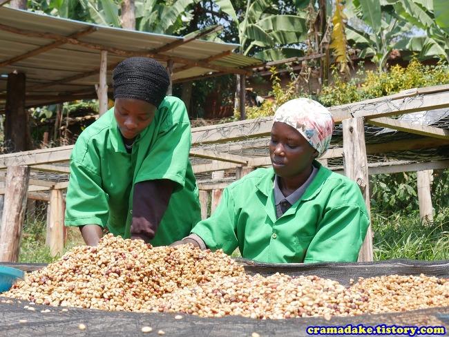 [르완다 커피] 후예 마운틴 커피 (Huye mountain coffee, Butare, Rwanda)
