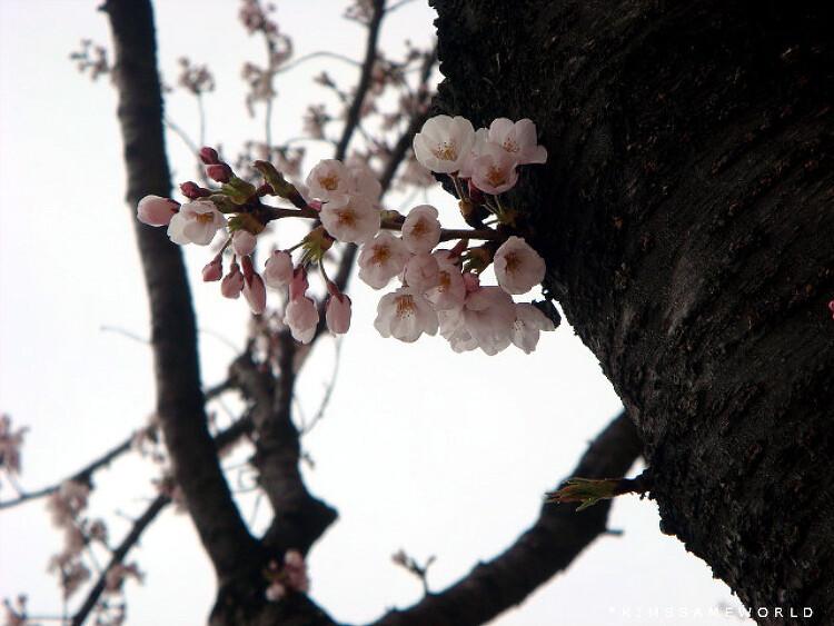 북서울 꿈의 숲 벚꽃 놀이