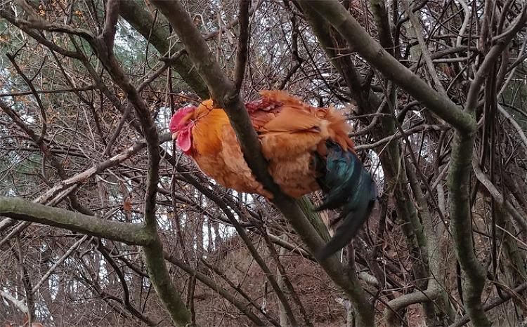 [행복찾기] '세상에 이런 일이', 높은 나무에 올라 밤잠을 자는 닭/나뭇가지에 걸터앉아 긴 겨울밤을 자는 신기한 수컷 닭/행복찾기프로젝트