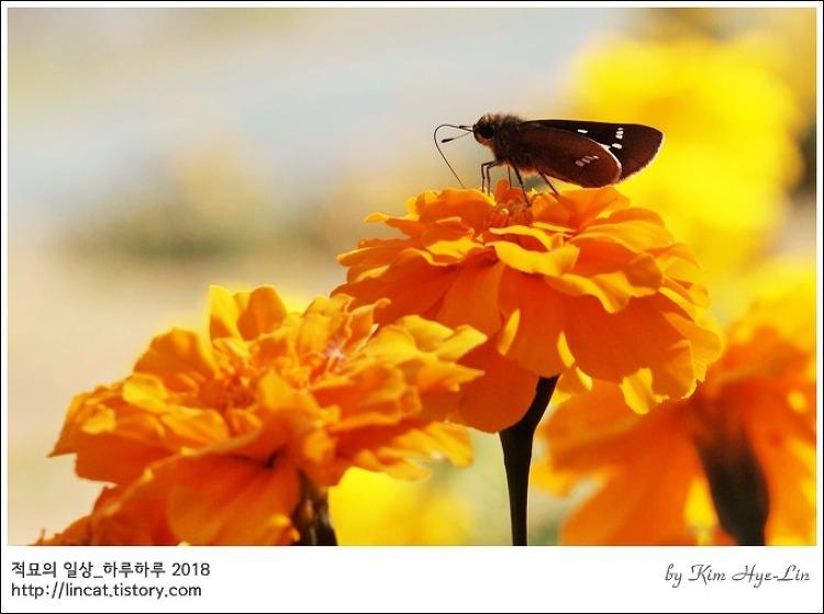 [적묘의 부산]온천천시민공원,가을을 만나다,10월의 마지막날,금잔화
