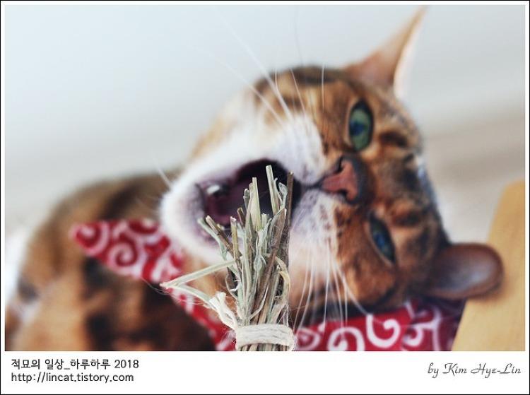 [적묘의 고양이]친구님네 뱅갈,신나는 캣닙 줄기 놀이,헤어나올 수 없는 매력
