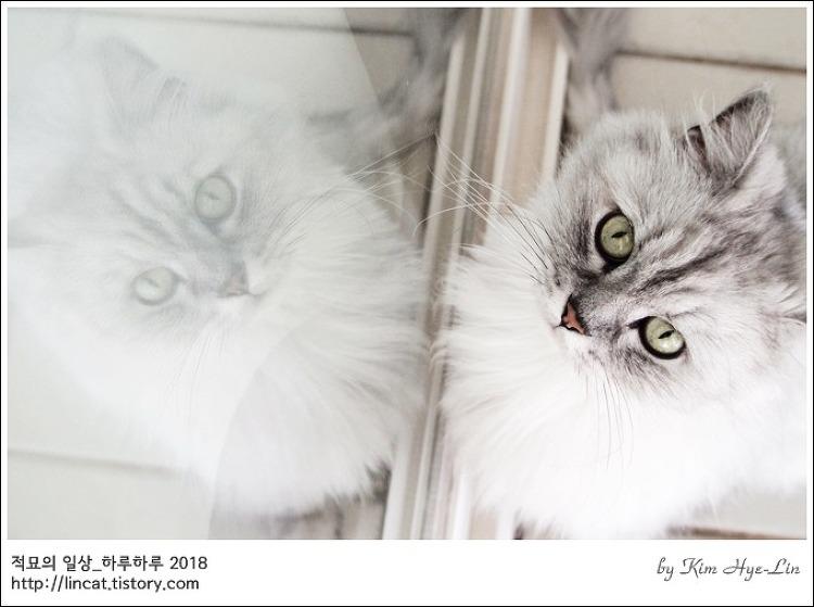 [적묘의 고양이]친구님네 임보냥,페르시안 고양이,안소니,럭셔리,월간파닥파닥,도시어부
