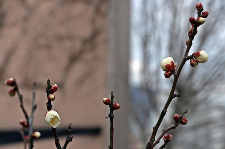 봄의 전령 매화