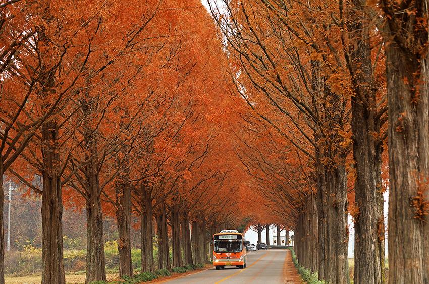 강천산 군립공원 가는 길이 즐거운 순창 메타쉐콰이어 길!! (순창여행)