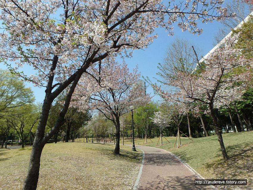벚꽃이 하나둘 떨어지고(4월중순)