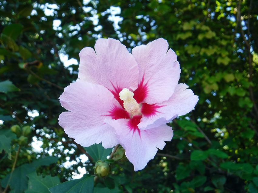 자연을 담은 사진, 무궁화(The Rose of Sharon)