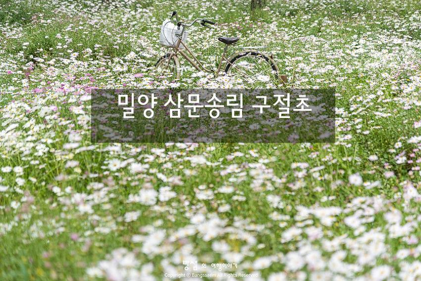 밀양 삼문송림 구절초, 가을꽃향기 가득한 구절초 꽃길