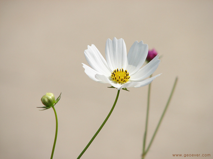 자연을 담은 사진, 코스모스(Cosmos) - 살사리꽃