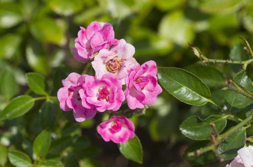 여름 장미꽃