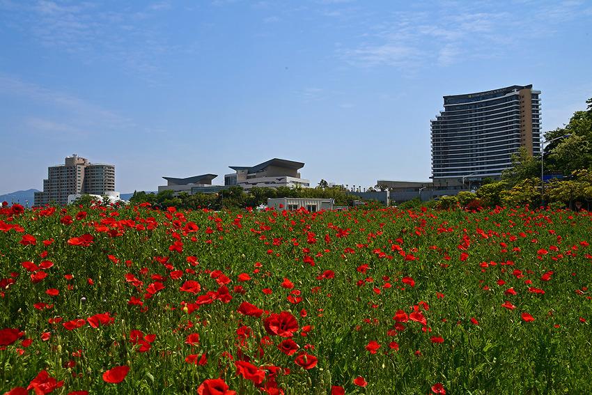 통영 도남관광단지의 붉은 양귀비꽃 유혹 (통영여행 )