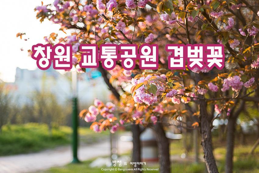 창원 교통공원 겹벚꽃, 창원에도 폈다, 겹벚꽃!