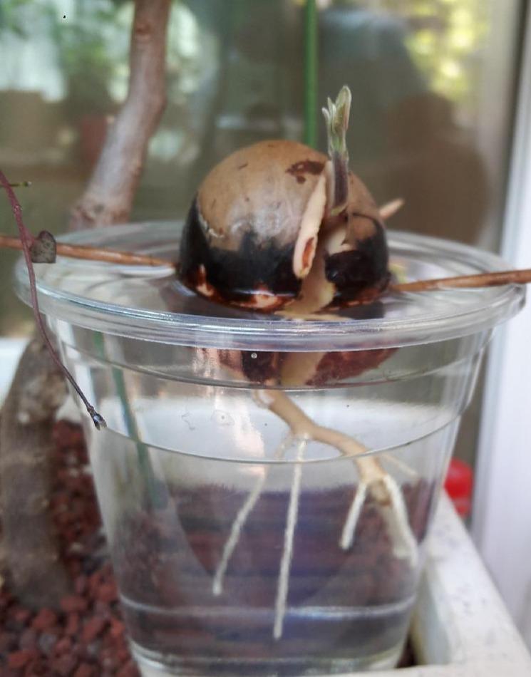 아보카도 씨앗 키우기