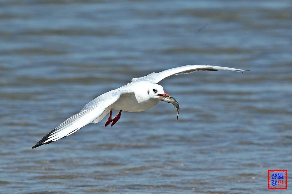 붉은부리갈매기의 물고기 사냥(강릉 남대천)